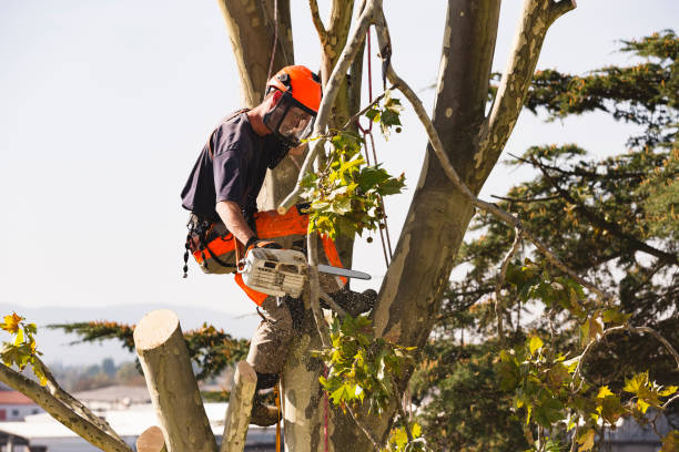 Guy in a tree cutting the limbs with a chainsaw