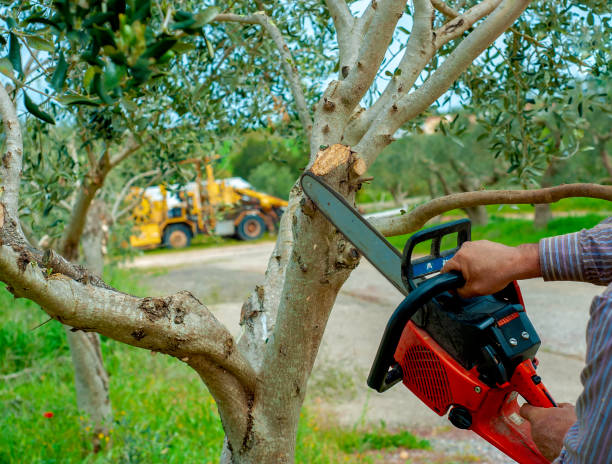 Pruning an olive tree with pruning with chainsaw
